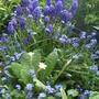Spring_blues