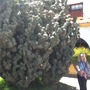 Huge Cactus in La Palma in the Canaries.