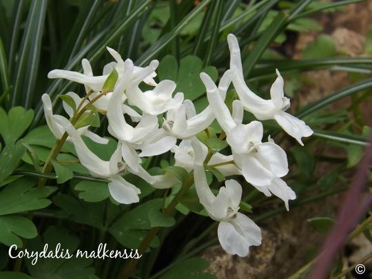 Corydalis malkensis (Corydalis malkensis)