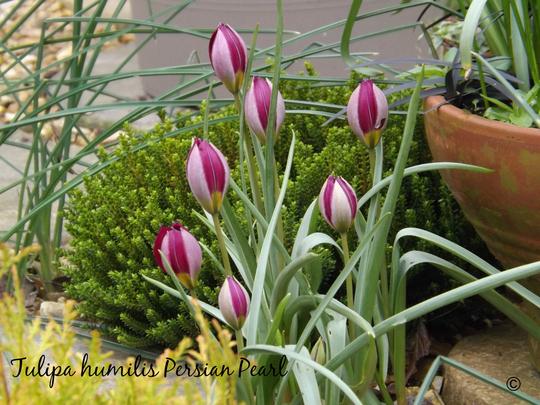 Tulipa humilis Persian Pearl (Tulipa humilis)