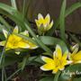 Tulipa tarda (Tulipa tarda)