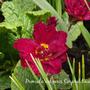 Primula_vulgaris_corporal_baxter