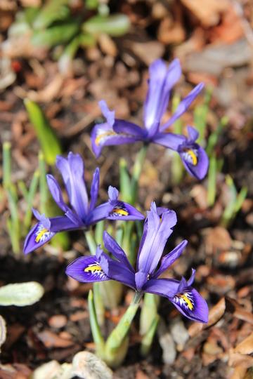 First flowers in the garden! (Iris reticulata (Iris))