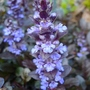 Ajuga_reptans_close_up_2014