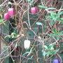 Billardiera longiflora (Billardiera longiflora)