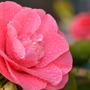 Camellia & buds