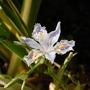 Iris japonica (Orchid Iris)