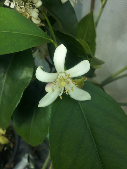 Lemon bloom