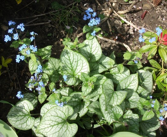 Brunnera Jack Frost - again my thanks to Scottish for sending me this very pretty plant (Brunnera Jack Frost)