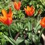 Tulipa 'Ballerina' (Tulips Ballerina)
