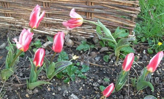Tulip 'Heart's Delight'  came out in early March.