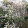 Amelanchier April 2014