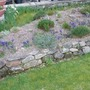 My stream of Iris reticulata running across the alpine bed.  (Iris reticulata (Iris))
