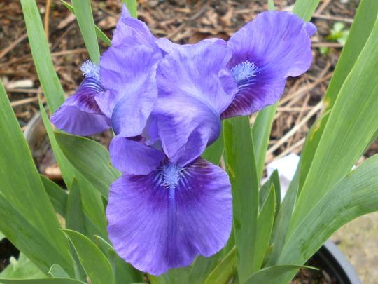 Iris germanica 'Banbury Ruffles (Iris germanica 'Banbury Ruffles')