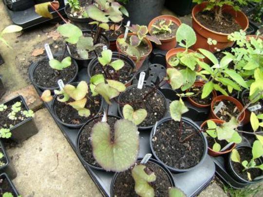 Ligularia plants