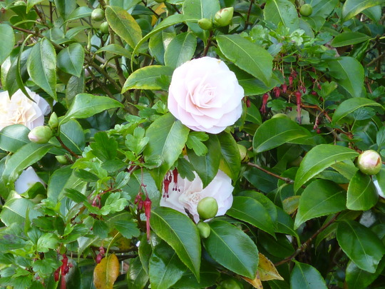 Camellia opening at last (Camellia japonica 'Ave Marie')