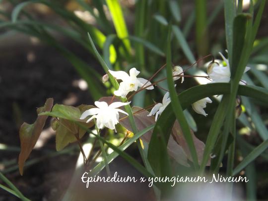 Epimedium x youngianum Niveum in dappled shade (Epimedium x youngianum 'Niveum')