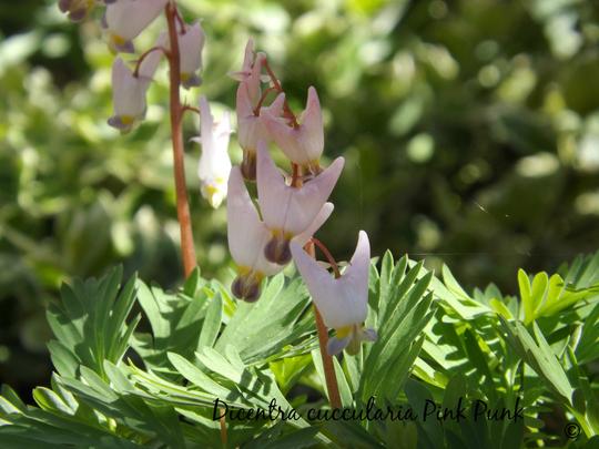 Dicentra cucullaria Pink Punk (Dicentra cucullaria (Dutchmans Breeches))