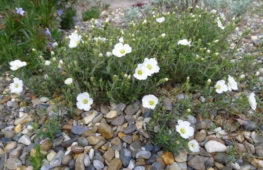 Arenaria montana - 2014 (Arenaria montana)