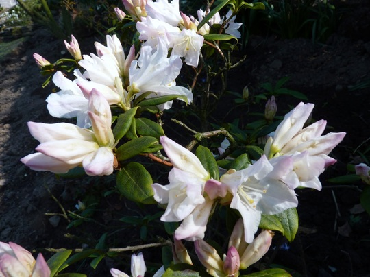 Dwarf Rhododendron (*2 name unknown)