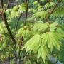 """Acer shirasawanum 'Jordan' (""""full moon"""") (Acer shirasawanum 'Jordan')"""