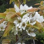 Asian Apple-pear  blooms  ((Pyrus pyrifolia))