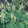 Thermopsis lanceolata (Thermopsis lanceolata)