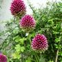 Allium sphearocephalon. (Allium Sphearocephalon)