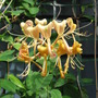 honey suckle (lonicera)