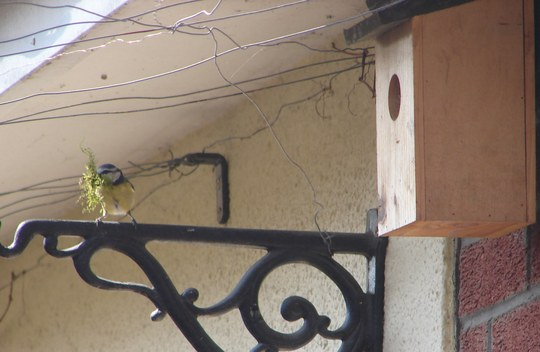 blue tit ready to move in