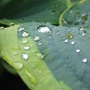 raindrops on hosta (Hosta sieboldiana)