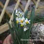 Narcissus canaliculatus in miniature garden (Narcissus Canaliculatus)