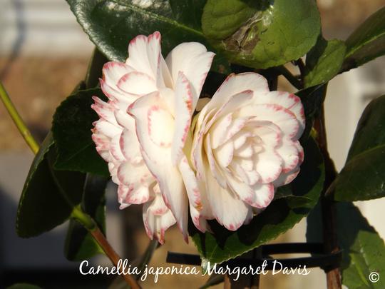 Camellia japonica Margaret Davis (Camellia japonica (Camellia))