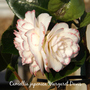 Camellia_japonica_margaret_davis