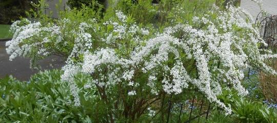 Spiraea nipponica 'Snowmound' (Spiraea nipponica 'Snowmound')