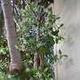 Trachelospermum jasminoides - Star Jasmine (Trachelospermum jasminoides)