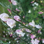 Cytisus_moyclare_pink_