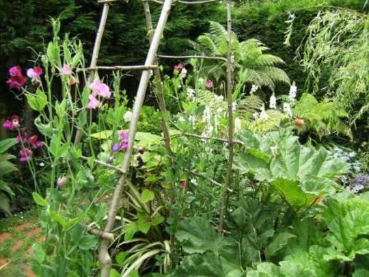Sweet peas on Hazel arch (Lathyrus odoratus (Old-Fashioned Sweet Pea))