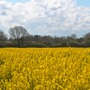 Norfolk Rape Field