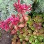 sedum in bloom (Sedum spurium)