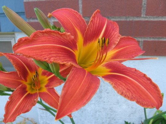 orange day lily (hemerocallis)
