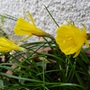 Narcissus bulbocodium 'Golden Bells' (Narcissus bulbocodium (Hoop-petticoat Daffodil))