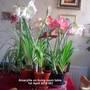 Amaryllis on living room table 01-04-2014 001 (Amaryllis Hippeastrum)