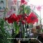 Amaryllis on table & in window of living room 07-04-2014 002 (Amaryllis Hippeastrum)