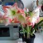 Amaryllis (White with red edges) in kitchen 12-04-2014 002 (Amaryllis Hippeastrum)