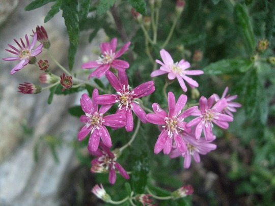 Olearia phlogopappa 'Comber's Pink' (Olearia phlogopappa)