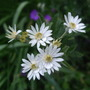 Olearia_x_scilloniensis