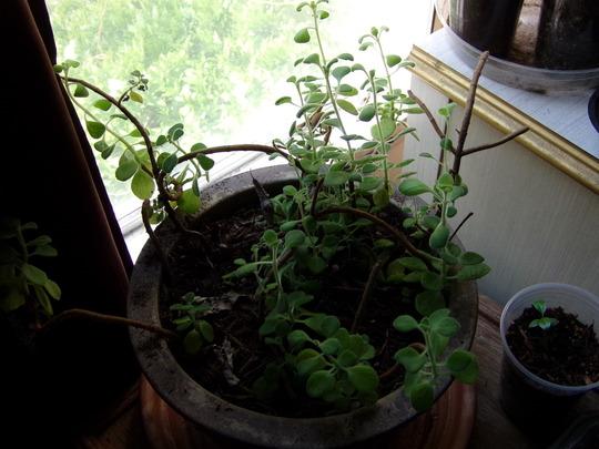 Camphor plant