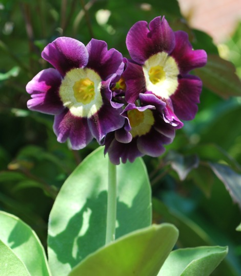 Primula Auricula (Primula auricula (Auricula)....)