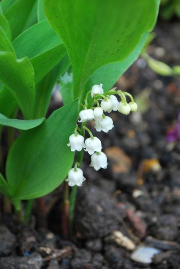 Convallaria majalis... (Convallaria majalis (Lily of the valley))